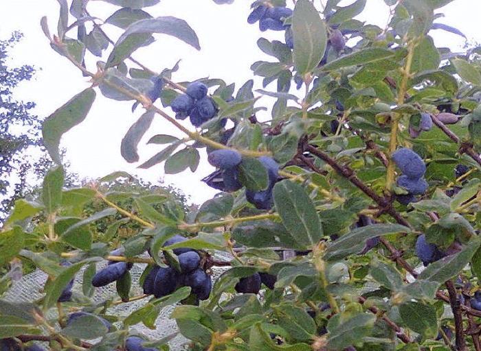 ягода жимолость полезные свойства