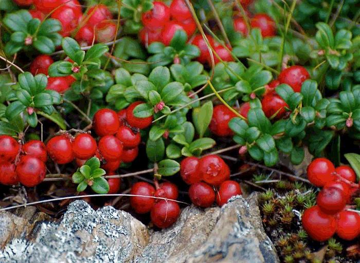 брусника полезные свойства ягод