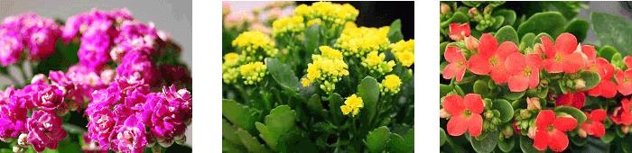 каланхоэ цветущий полезные свойства