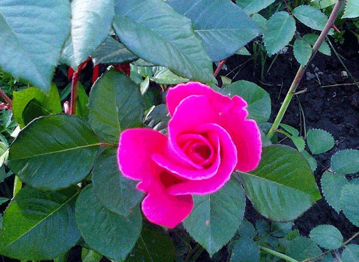 чайная роза полезные свойства