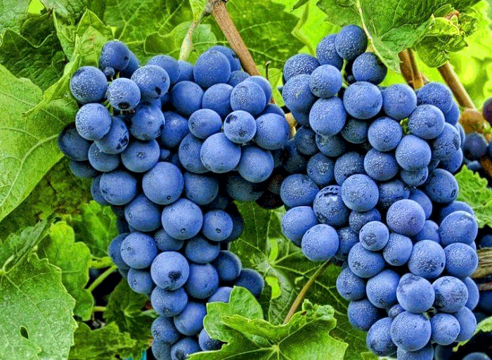 виноград полезные свойства