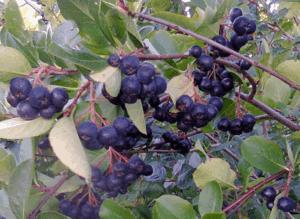 полезные свойства рябины черноплодной