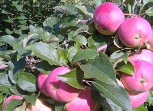 полезные свойства яблока