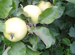 Рецепты яблочных десертов и выпечки