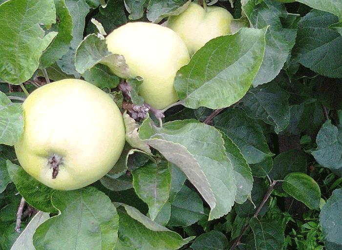 Рецепты яблочного десерта и выпечки