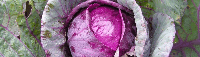 Полезные свойства краснокочанной капусты
