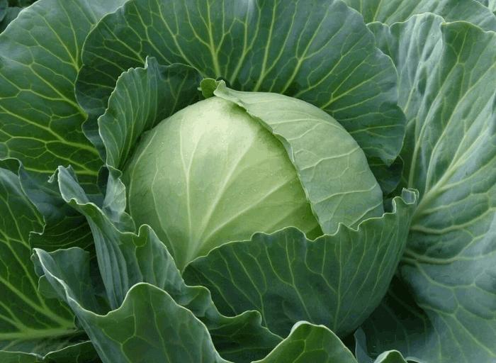 полезные свойства капусты для организма человека