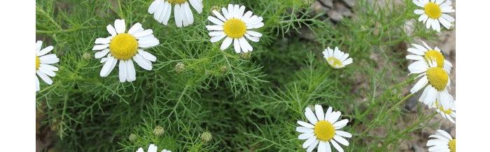 травы для очищения организма ромашка
