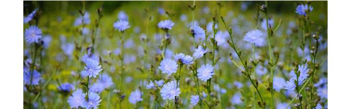травы для очищения организма цикорий