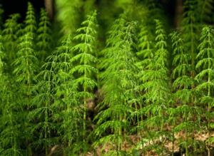 хвощ полевой полезные свойства