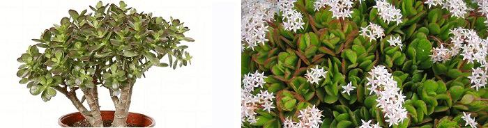 комнатные растения приметы толстянка