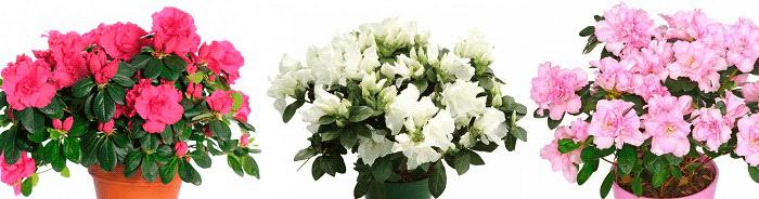 комнатные растения приметы азалия