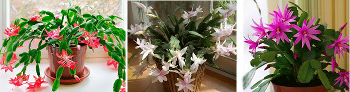 комнатные растения приметы декабрист