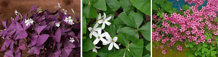 комнатные растения приметы оксалис