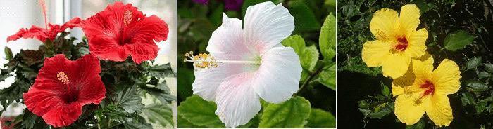 комнатные растения приметы гибискус