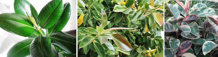 комнатные растения приметы фикус