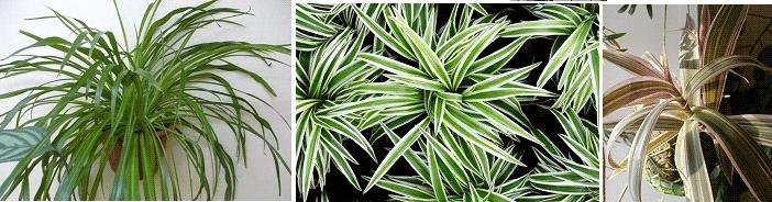 комнатные растения приметы хлорофитум