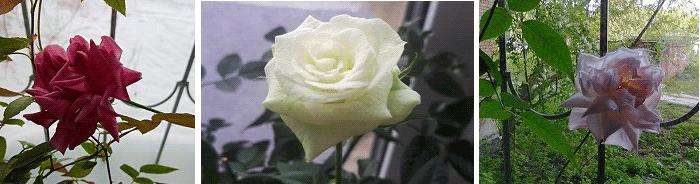 комнатные растения приметы роза