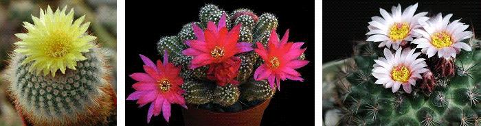 комнатные растения приметы кактус