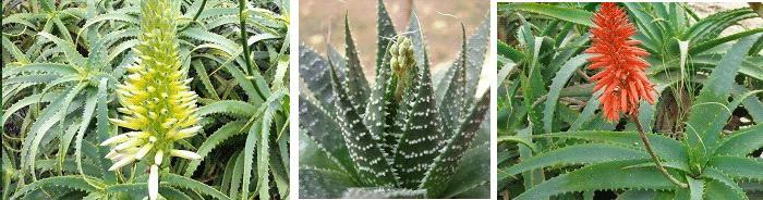 комнатные растения приметы алоэ