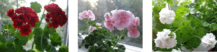 комнатные растения приметы герань