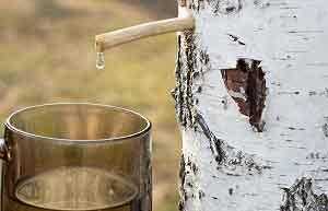 Березовый сок полезные свойства и противопоказания хранение