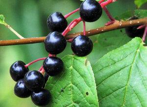 черемуха полезные свойства ягод