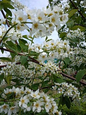 полезные свойства цветков и листьев черемухи