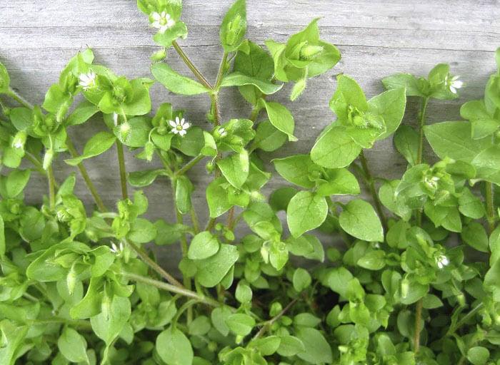 мокрица трава полезные свойства для человека